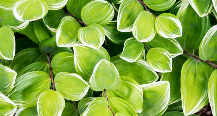 bright green and white leaves